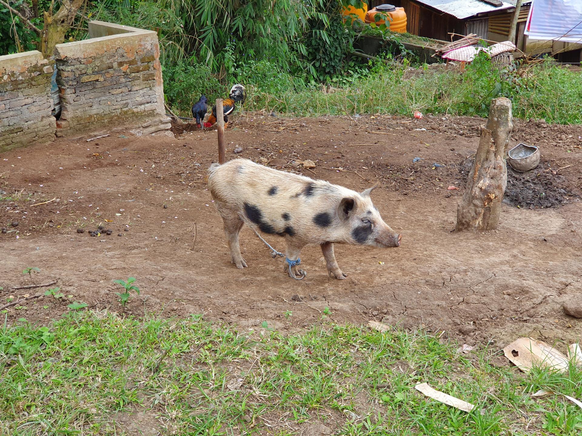 свинья в Индонезии