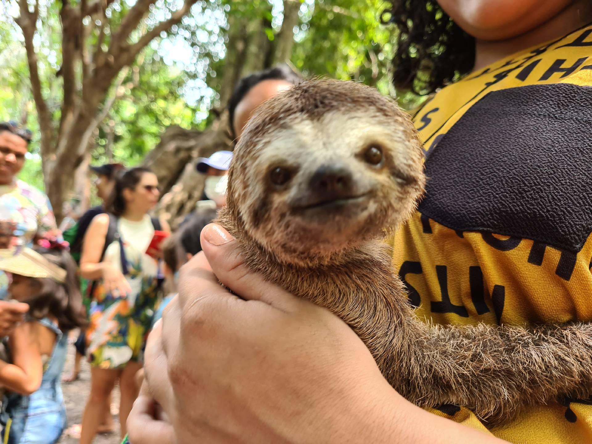 ленивец в Бразилии