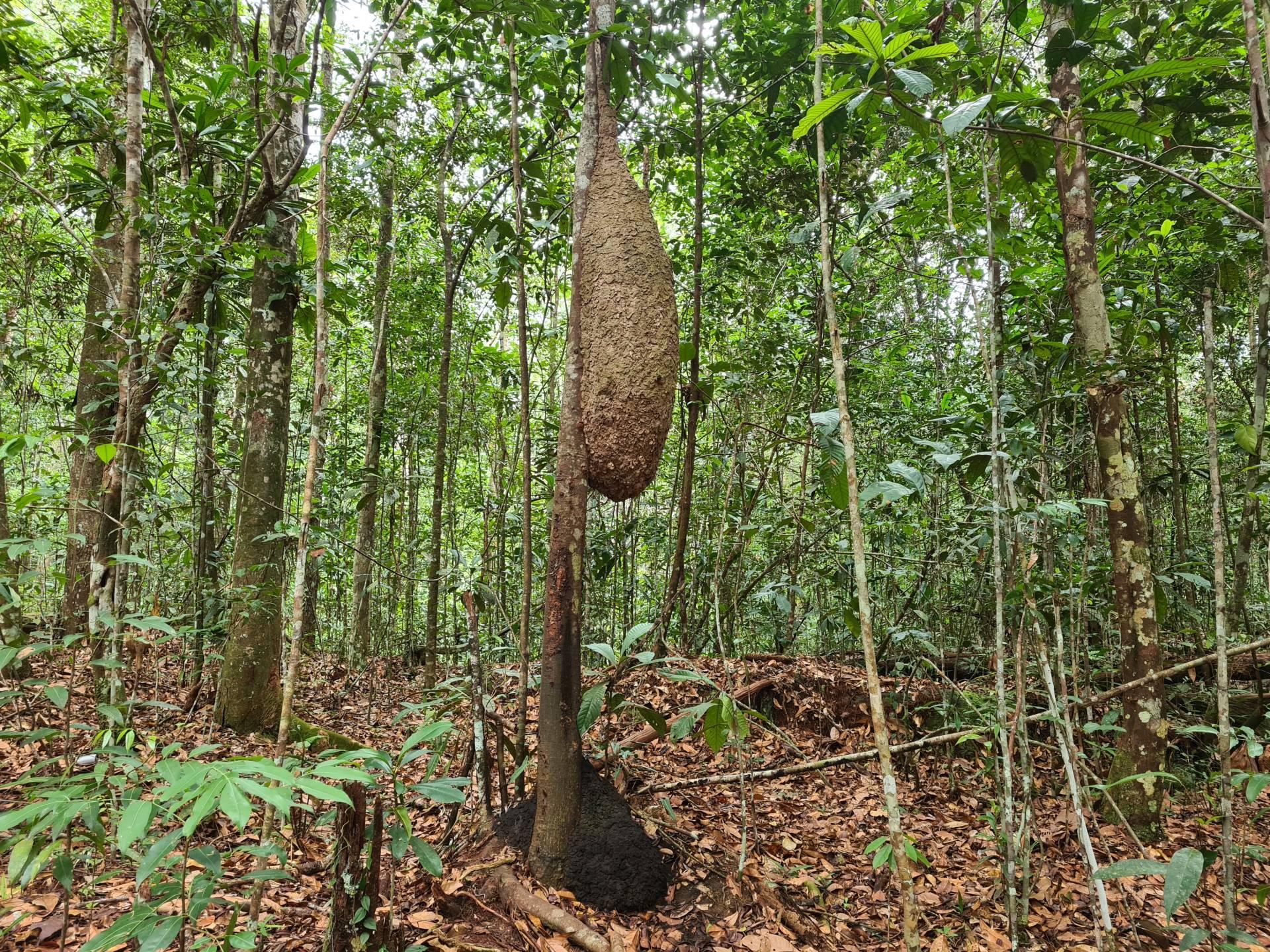 муравейник на дереве, Бразилия