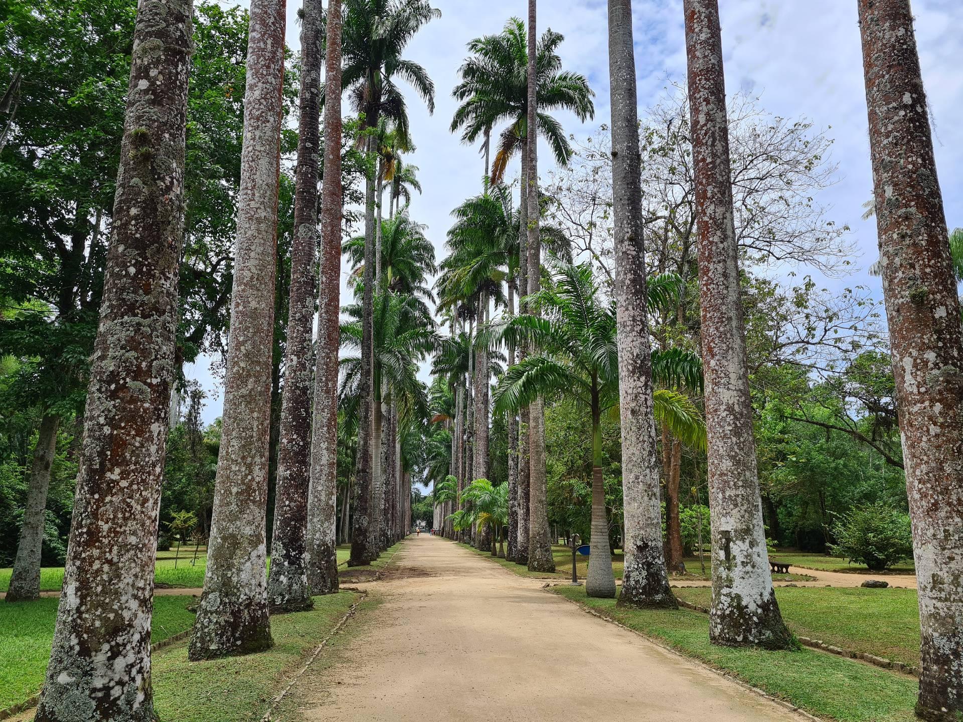 аллея с пальмами в ботаническом саду Рио