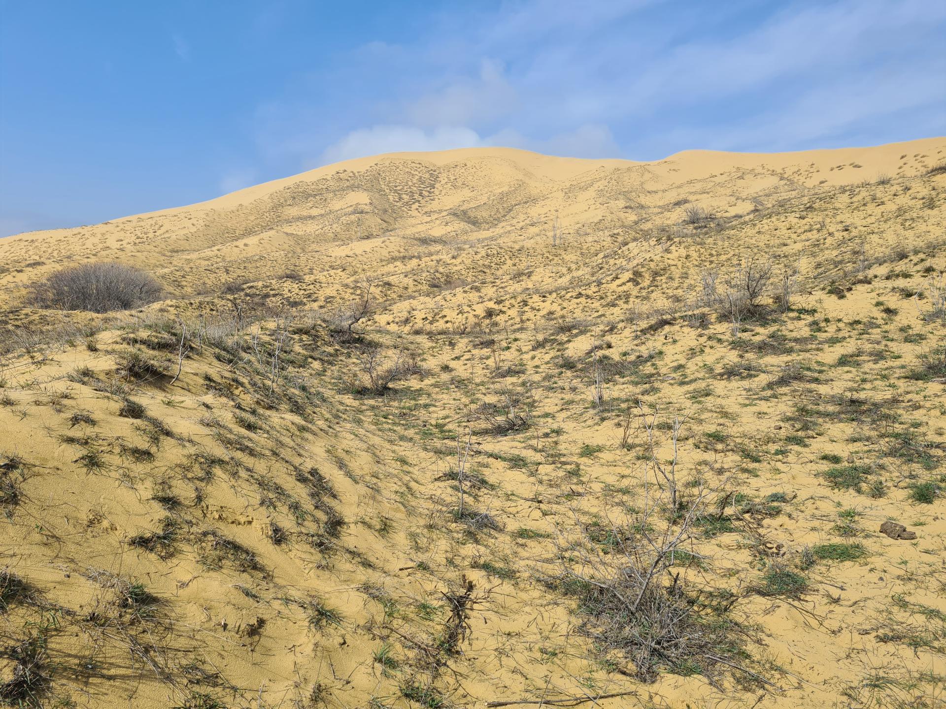 растительность на бархане Сарыкум