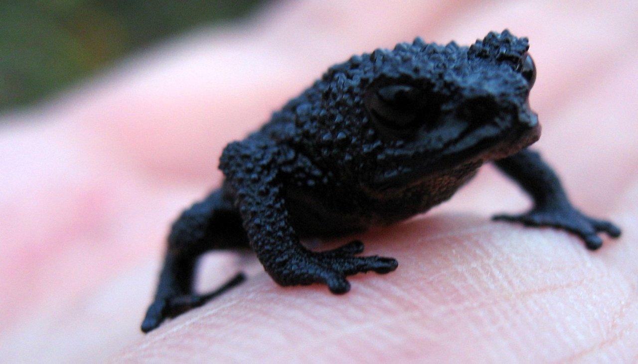 Лягушка, живущая на Рорайме